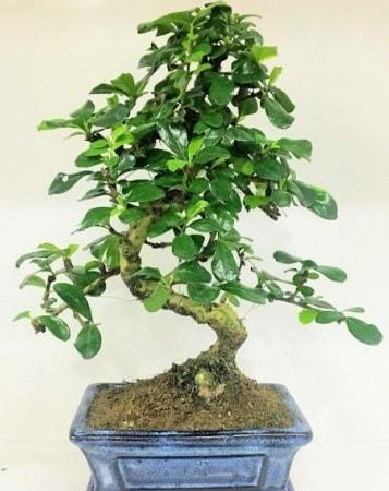 Zelkova S gövdeli Minyatür ağaç Bonzai  Yozgat çiçek gönderme