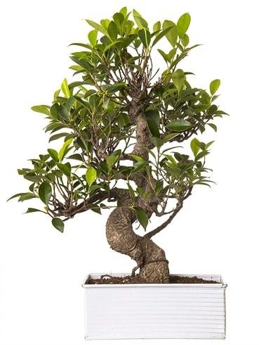Exotic Green S Gövde 6 Year Ficus Bonsai  Yozgat çiçek gönderme sitemiz güvenlidir