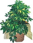 Yozgat internetten çiçek siparişi  Schefflera gold